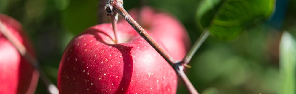 青森縣蘋果